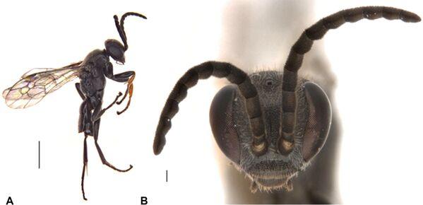Nowy gatunek osy-pająka Epipompilus namadgi  - Sputnik Polska