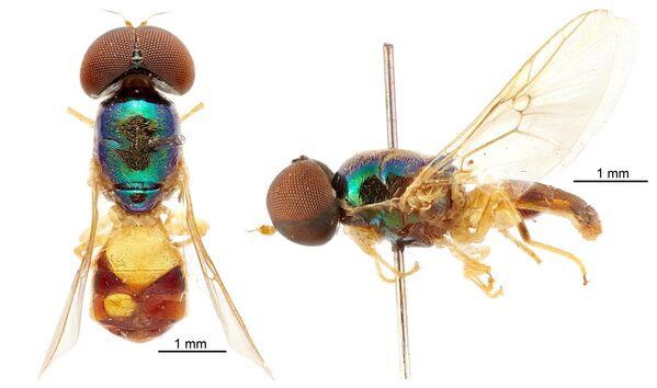 Samiec nowego gatunku Microchrysa wrightae - Sputnik Polska