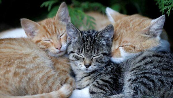 Śpiące kocięta we wsi Krompach w Czechach - Sputnik Polska