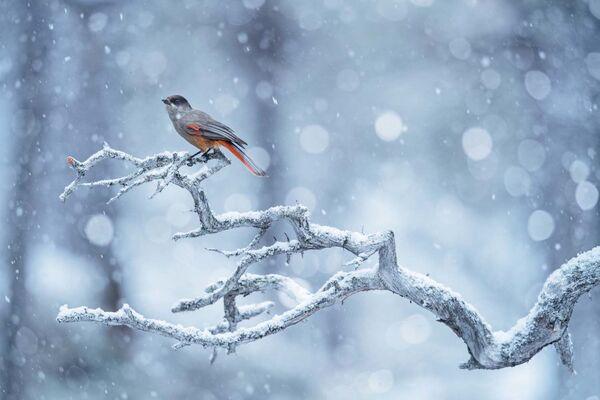 """Fotografia """"A flurry of snow"""" autorstwa niemieckiego fotografa Floriana Smita, zdobywcy nagrody Fritz Pölking Junior w konkursie European Wildlife Photographer of the Year 2020 - Sputnik Polska"""