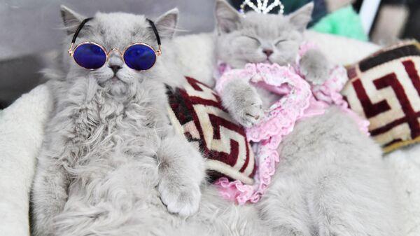 Brytyjskie koty na wystawie w Moskwie  - Sputnik Polska