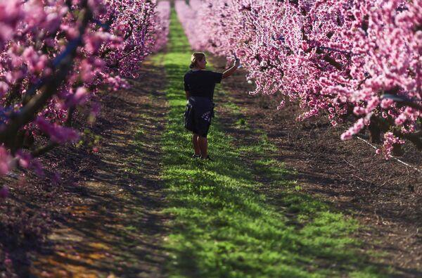 Kwitnienie brzoskwiń w hiszpańskiej gminie Aitona - Sputnik Polska