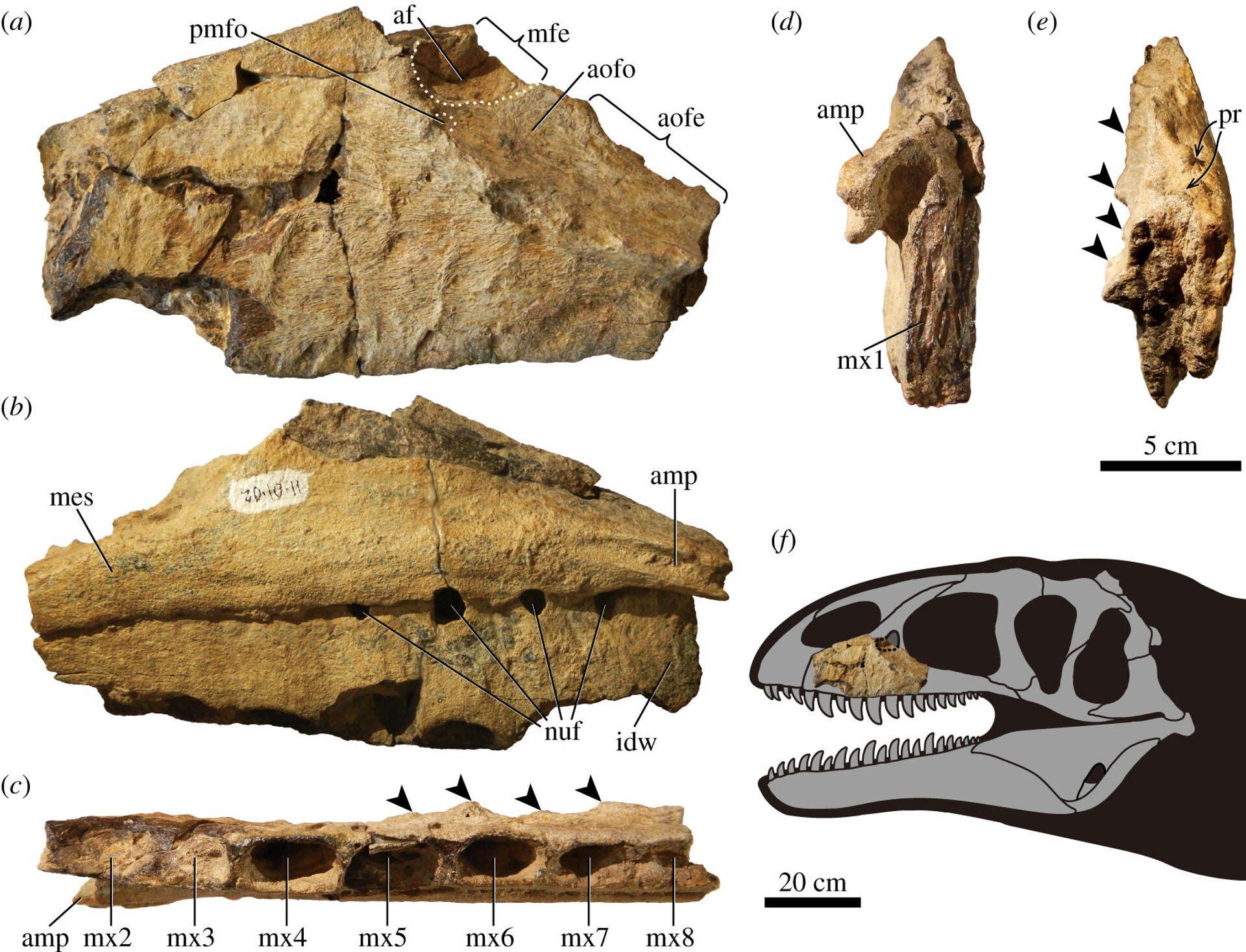 Kości Ulughbegsaurus uzbekistanensis znalezione w Uzbekistanie - Sputnik Polska, 1920, 12.09.2021