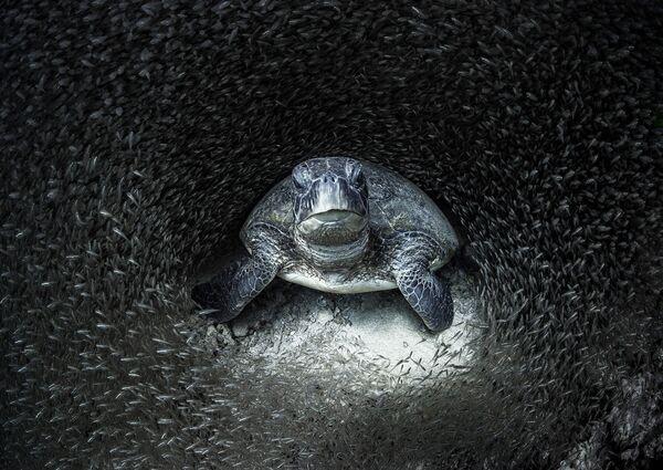 Zielony żółw otoczony szklanymi rybami. Zwycięskie zdjęcie w konkursie Ocean Photographer of the Year 2021. Fotograf Aimee Yang, Rafa Ningaloo, Australia Zachodnia. - Sputnik Polska
