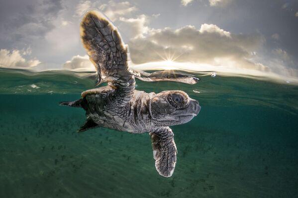 """Zdjęcie Matta Smitha, który zajął trzecie miejsce w konkursie Ocean Photographer of the Year 2021. """"Młode Hawksbill Żółwie mają zaledwie 3,5 cm długości i kilka minut w wieku"""" – mówi fotograf Matty Smith. - Sputnik Polska"""