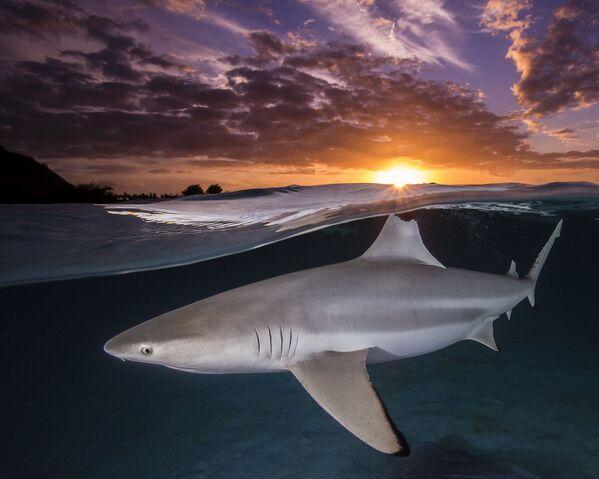 Samotny rekin rafowy z czarną końcówką ustawia płetwę grzbietową w linii z zachodzącym słońcem w Mourea w Polinezji Francuskiej, fotograf Renee Capozzola. - Sputnik Polska