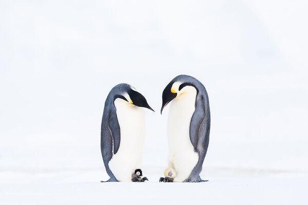 Dwa pingwiny cesarskie łączą się w pary. Samiec wspina się na samicę. Fotograf Stefan Christmann - Sputnik Polska