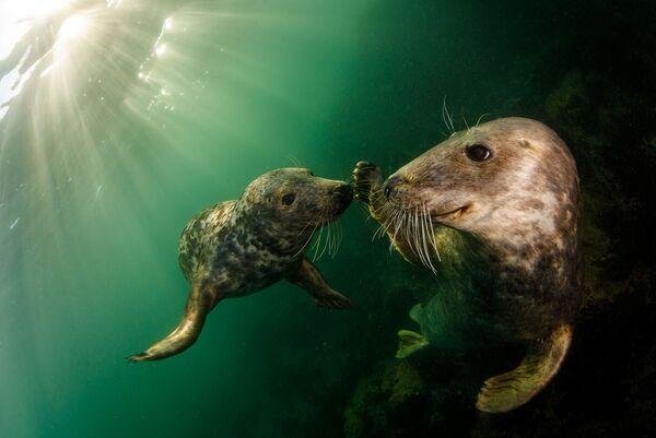 Figlarne foki szare to gatunek, który od dziesięcioleci jest chroniony w Wielkiej Brytanii na mocy ustawy o ochronie fok z 1970 roku. Fotograf Grant Thomas. Wyspy Farn, Wielka Brytania. - Sputnik Polska