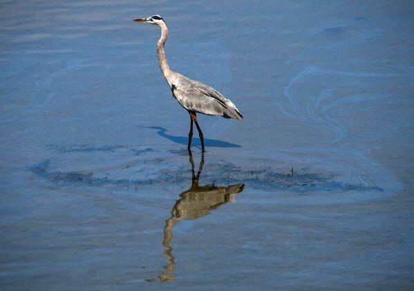 Ptak przechodzi przez małą plamę ropy w kanale Talbert po dużym wycieku ropy u wybrzeży Kalifornii - Sputnik Polska