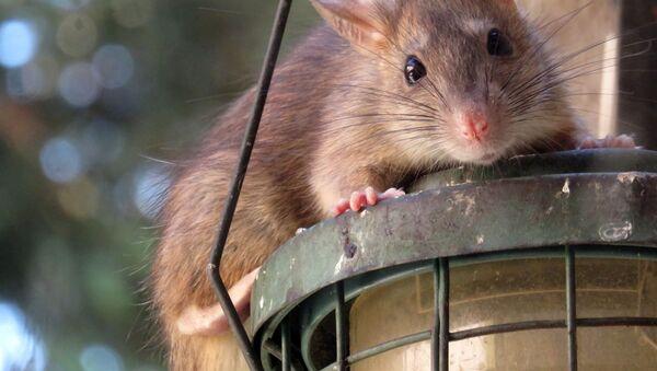 Szczur - Sputnik Polska