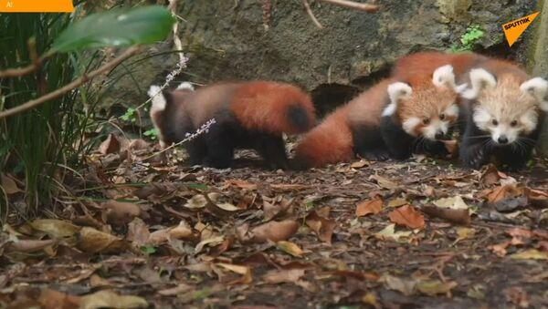 Czerwone pandy - Sputnik Polska