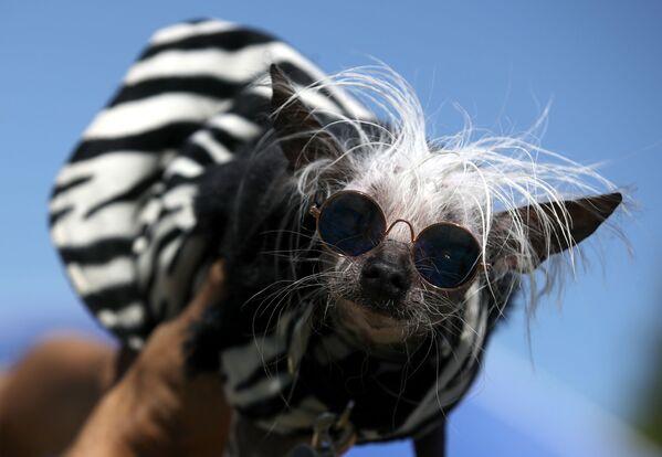 Grzywacz chiński o imeniu Rascal Deux bierze udział w konkursie Najbrzydszy pies roku 2019 - Sputnik Polska