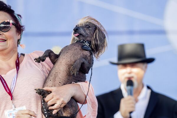 Piesiek o imieniu Himisaboo uczestniczy w konkursie Najbrzydszy pies świata 2019 - Sputnik Polska