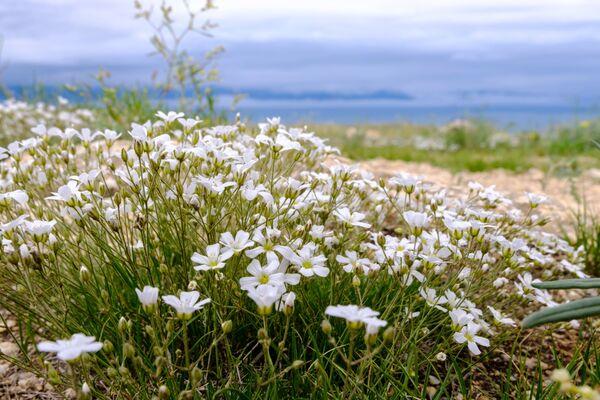 Kwiaty rosnące na wyspie Olchon na jeziorze Bajkał w obwodzie irkuckim - Sputnik Polska