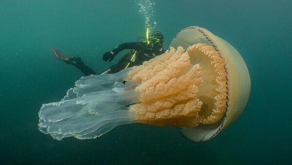 Anomalnie wielka meduza - Sputnik Polska