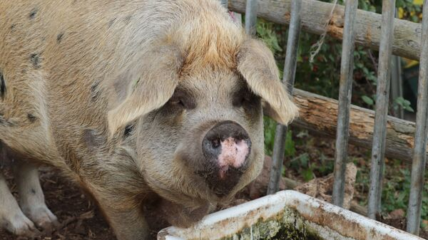 Świnia u koryta - Sputnik Polska