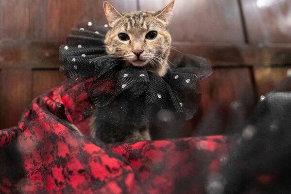 Kotka Mrs.Parberry podczas pokazu mody Algonquin Hotel's Annual Cat Fashion Show w Nowym Jorku - Sputnik Polska