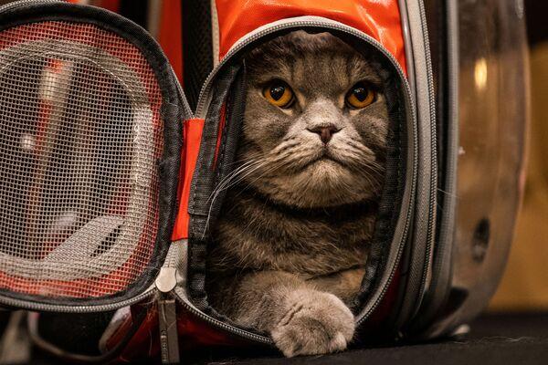 Kot Thunder Folds przed rozpoczęciem pokazu mody Algonquin Hotel's Annual Cat Fashion Show w Nowym Jorku - Sputnik Polska