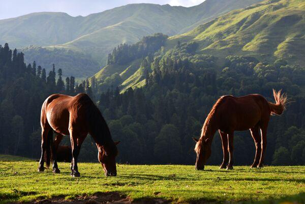 Pasące się konie w Reliktowym Parku Narodowym w Abchazji    - Sputnik Polska
