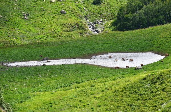 Krowy na pastwisku w Abchazji  - Sputnik Polska