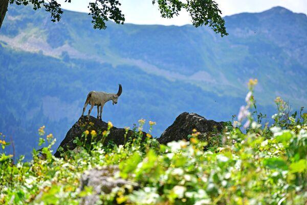 Kozioł górski w Reliktowym Parku Narodowym w Abchazji   - Sputnik Polska