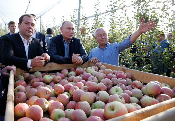 Władimir Putin i Dmitrij Miedwiediew podczas zbioru jabłek - Sputnik Polska
