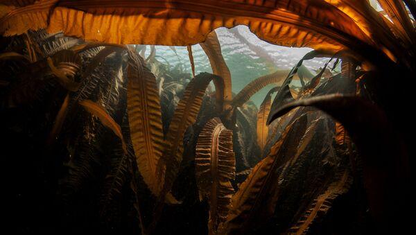 """Laminaria (""""morska kapusta"""") na dnie zatoki Nowokurylskiej w pobliżu wyspy Urup (wyspa południowej grupy Wielkiego Grzbietu Wysp Kurylskich) - Sputnik Polska"""