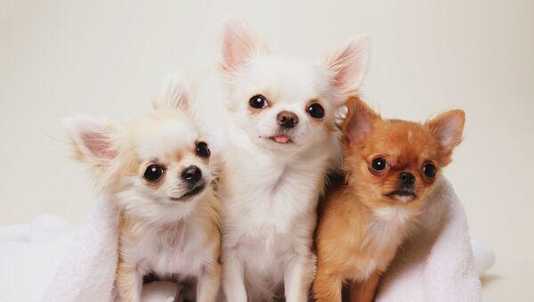 Chihuahua - Sputnik Polska