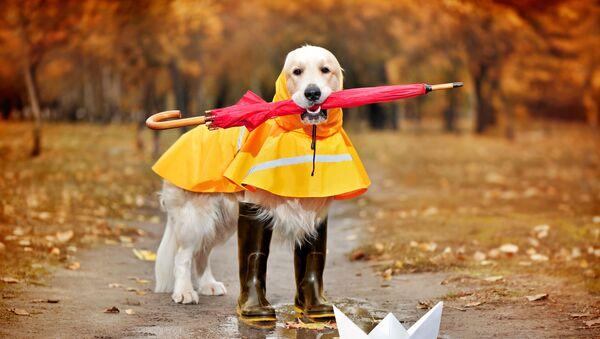 Golder retriever w kaloszach, płaszczu przeciwdeszczowym i parasolem w zębach  - Sputnik Polska