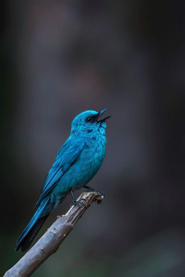 """Zdjęcie """"Verditer flycatcher"""". Wykonał je fotograf z Indii Mitesh Patel w ramach konkursu fotograficznego World's Best Photos of #Blue2019 - Sputnik Polska"""