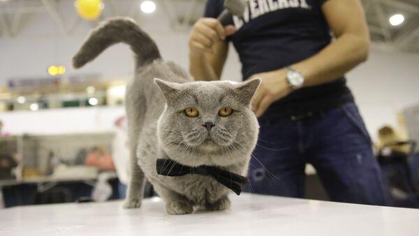 Kot brytyjski krótkowłosy o imieniu Oskar - Sputnik Polska