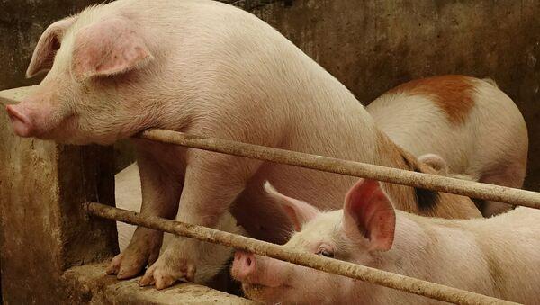 Świnie na farmie w Chinach - Sputnik Polska