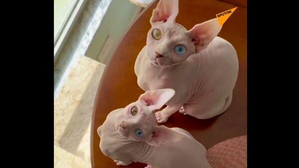 Koty Sfinksy - Sputnik Polska