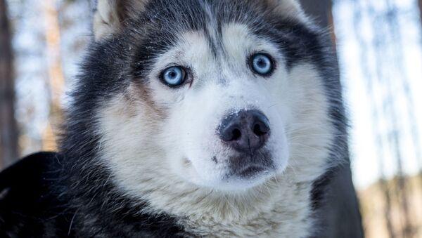 Husky w Karelii - Sputnik Polska