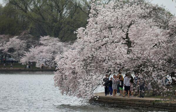 Kwitnienie japońskiej wiśni w Waszyngtonie  - Sputnik Polska