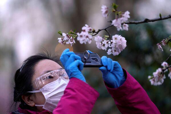 Kwitnienie japońskiej wiśni w Szanghaju  - Sputnik Polska