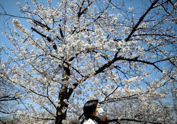 Kwiaty japońskiej wiśni w Tokio - Sputnik Polska