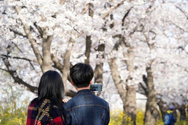 Kwitnienie japońskiej wiśni w Seulu - Sputnik Polska