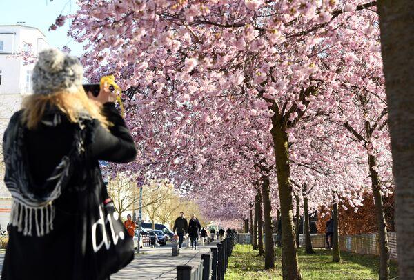 Kwitnienie japońskiej wiśni w Berlinie - Sputnik Polska