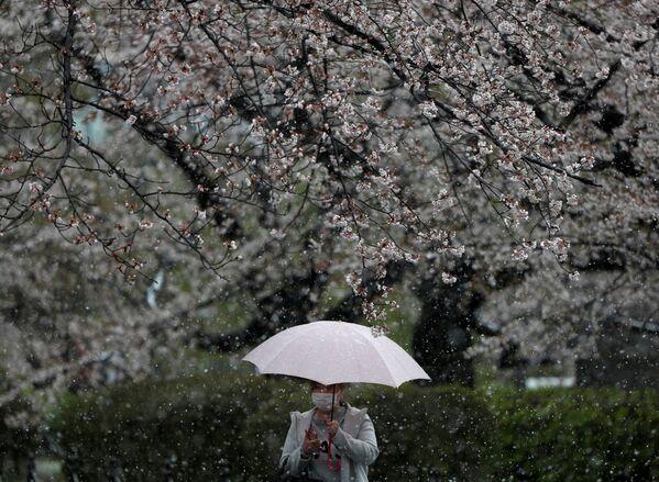 Kwitnienie sakury w Tokio - Sputnik Polska
