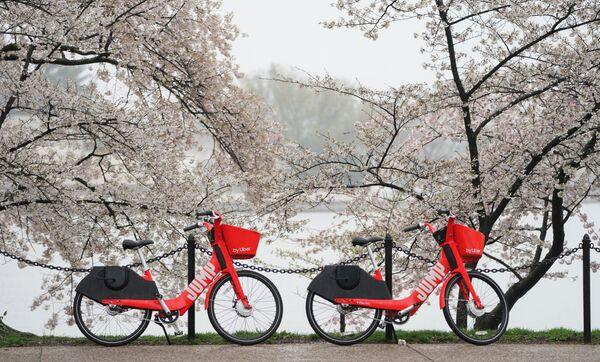 Kwitnienie sakury w Waszyngtonie - Sputnik Polska