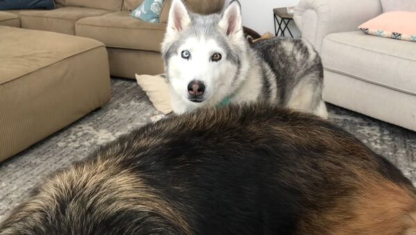 Husky nie podoba się jego nowe łóżko - Sputnik Polska