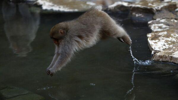Makaka skacze do wody - Sputnik Polska