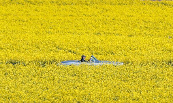 Pole żółtych kwiatów w Szwajcarii - Sputnik Polska