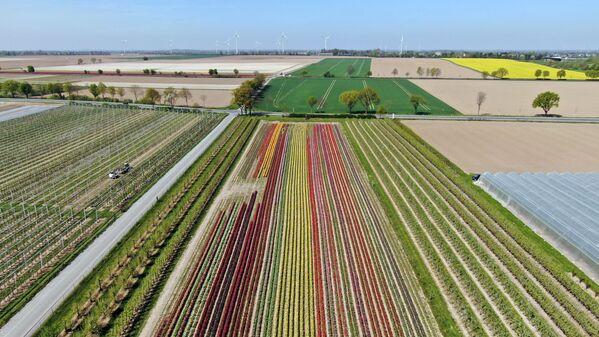 Tulipany w Niemczech - Sputnik Polska
