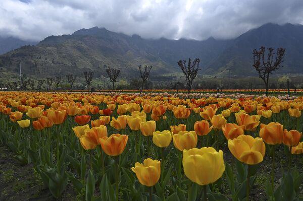 Tulipany w Indiach - Sputnik Polska