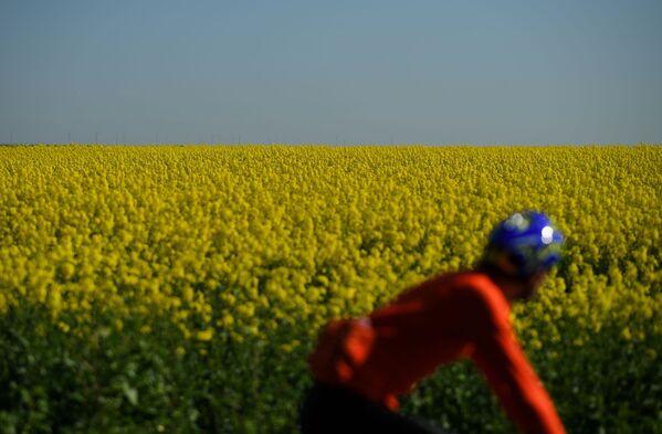 Pole żółtych kwiatów w Wielkiej Brytanii - Sputnik Polska