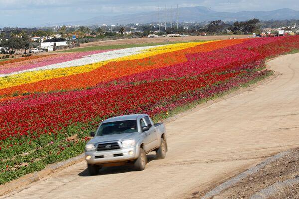 Kwitnące pola w Kalifornii - Sputnik Polska