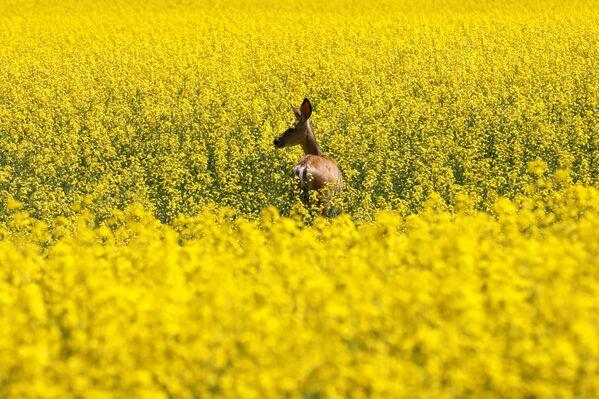 Pole żółtych kwiatów w Kanadzie - Sputnik Polska