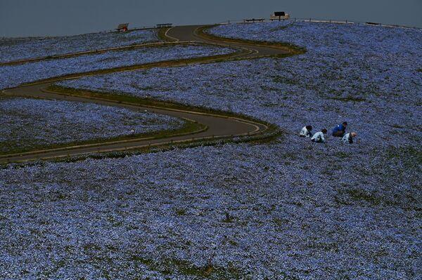 Pole niebieskich kwiatów w Japonii - Sputnik Polska